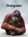 Mostdigitalcreations-orangutan.png