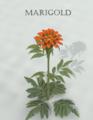 Mambanegra-Marigold.png