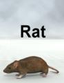 Mostdigitalcreations-Rat.png