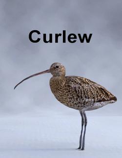 MostDigitalCreations-Curlew.png