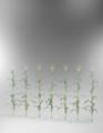 Mock-Mock's Corn Stalks.png